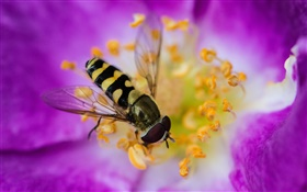 Pink flower, petals, insect, bee HD wallpaper