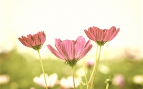 Pink flowers, petals, stem, blur background, glare HD wallpaper