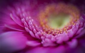 Pink gerbera macro, petals HD wallpaper