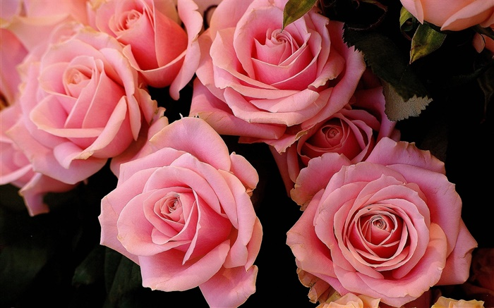 Pink rose flowers, petals Wallpapers Pictures Photos Images
