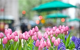 Pink tulip flowers, blue hyacinth, spring, bokeh HD wallpaper