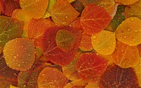 Red yellow leaves, autumn, water drops HD wallpaper
