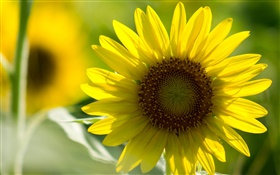 Sunflower close-up, yellow petals, bokeh HD wallpaper