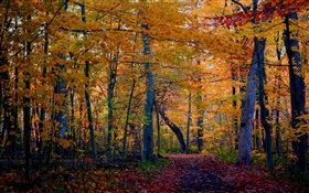 Trail, forest, trees, autumn, yellow leaves HD wallpaper