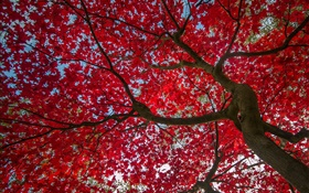 Tree, red leaves, autumn, sky