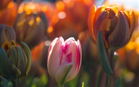 Tulips flowers, buds, bokeh, sunlight HD wallpaper
