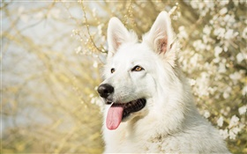 White Swiss shepherd dog HD wallpaper