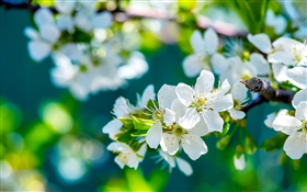 White apple flowers, spring, sunny HD wallpaper