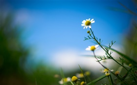 White daisy, flower, blue sky, blurry background HD wallpaper