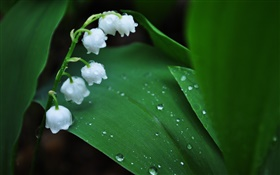 White flowers, green leaves, water drops HD wallpaper