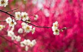 White plum flowers bloom, twigs, spring, red background