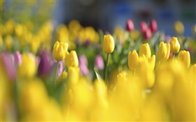 Yellow tulips, flowers, spring, blur HD wallpaper