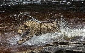 Amazonia river, predator, jaguar running in the water HD wallpaper