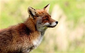 Animals close-up, fox side view, blur background HD wallpaper