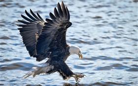Bald eagle flying, wings, fishing, water HD wallpaper