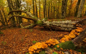 Basque Country, Spain, forest, trees, mushrooms, autumn HD wallpaper