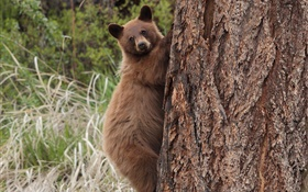 Bear climbing tree HD wallpaper