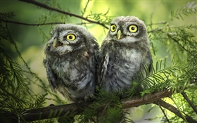 Birds close-up, two owls, tree, leaves HD wallpaper
