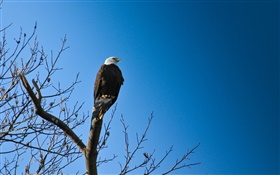 Birds, eagle in tree, blue sky