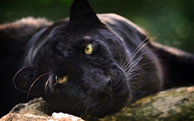 Black panther, face, yellow eyes HD wallpaper
