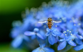 Blue hydrangea flowers, insect, bee HD wallpaper