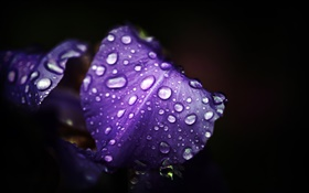 Blue purple flowers, petals, water drops, black background HD wallpaper