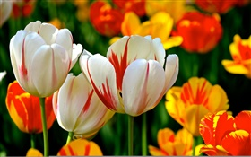 Colorful petals, white red orange, tulips, flowers HD wallpaper