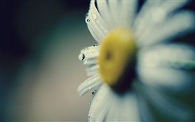 Daisy close-up, flower, petals, dew HD wallpaper