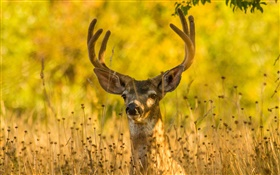 Deer in the grass, horns, autumn HD wallpaper