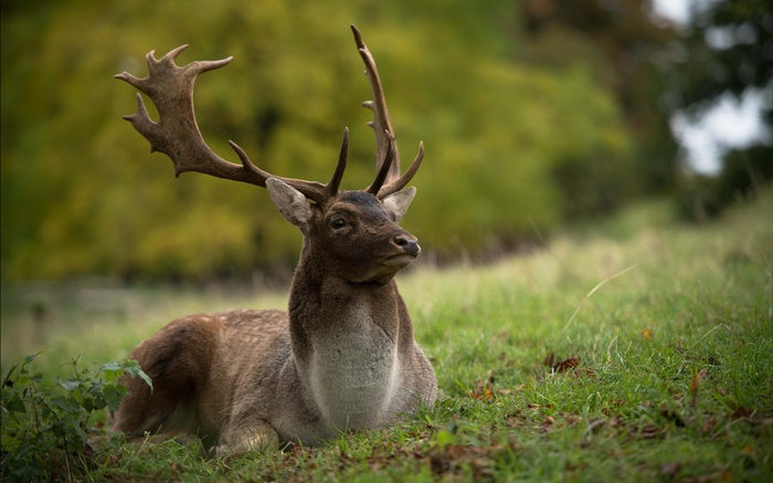 Deer rest, grass Wallpapers Pictures Photos Images
