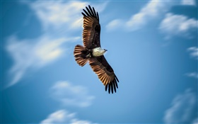 Eagle flying, blue sky, wings HD wallpaper