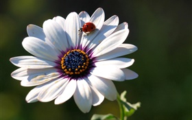 Flower close-up, petals, ladybug HD wallpaper