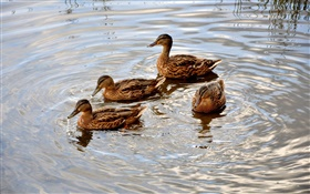 Four ducks in the pond, water, wave HD wallpaper