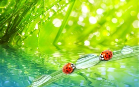 Grass macro photography, morning, dew, ladybugs, water HD wallpaper