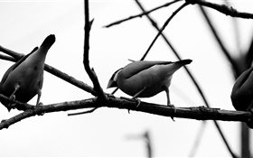 Gray birds, tree branch HD wallpaper