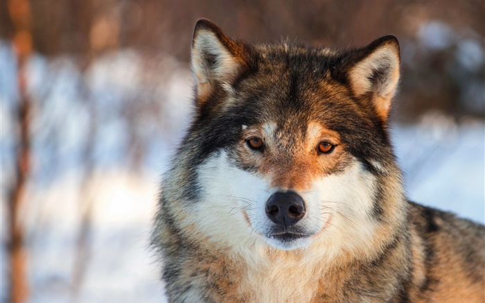 Grey wolf close-up, portrait, winter Wallpapers Pictures Photos Images