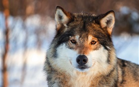 Grey wolf close-up, portrait, winter HD wallpaper