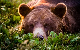 Grizzly close-up, bear, face, rest HD wallpaper