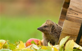 Hedgehog and apple HD wallpaper