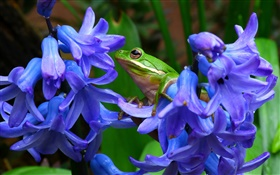 Hyacinthus, blue flowers, tree frog HD wallpaper