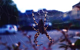 Insect close-up, spider, web HD wallpaper
