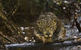 Jaguar close-up, predator, Amazonia HD wallpaper