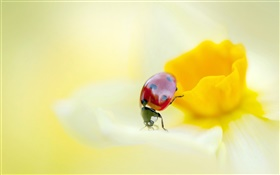 Ladybug, insects, yellow flower, petals HD wallpaper