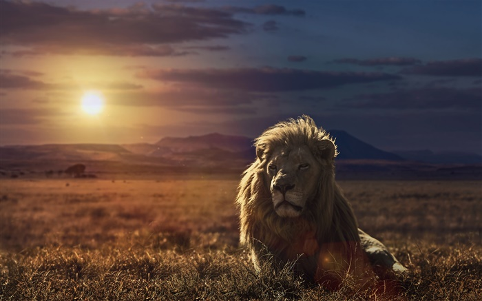 Lion at sunset, grass Wallpapers Pictures Photos Images
