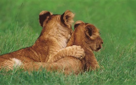 Lion cubs, grass HD wallpaper