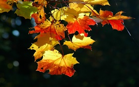 Maple leaves close-up, autumn, black background HD wallpaper