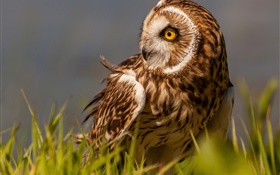 Marsh owl, bird, grass, yellow eyes HD wallpaper