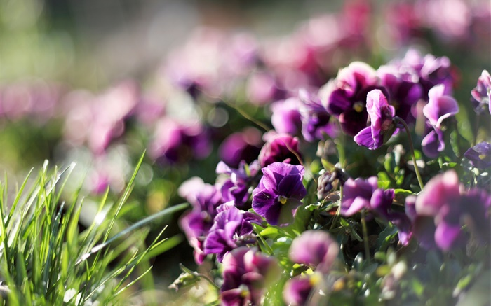 Pansies, purple flowers, violet, spring Wallpapers Pictures Photos Images