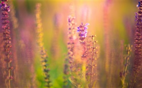 Pink purple flowers, blur background, glare HD wallpaper
