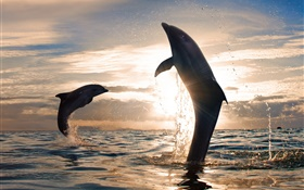 Playful dolphins jumping, water splash, sea, sunset HD wallpaper